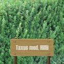 Eibe Taxus Med. Hillii