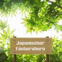 Japanische Fächerahorn