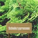 Scheinzypressen
