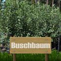 Buschbaum