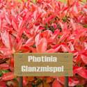 Glanzmispel Photinia