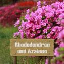 Rhododendren und Azaleen