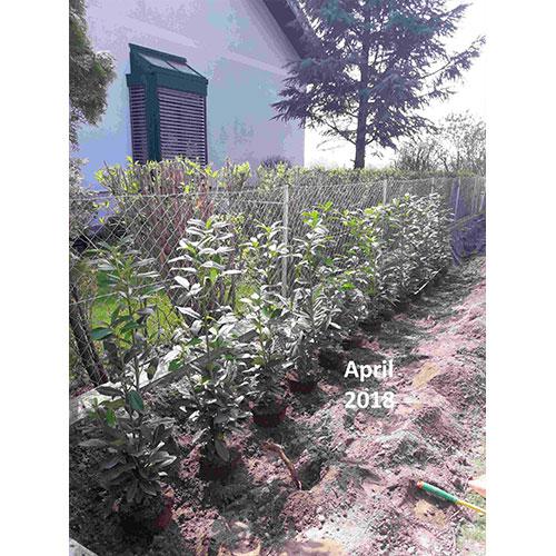 Bild nach der Pflanzung 2018 Alfred R. Kirschlorbeer Gartengarten Pflanzenversand