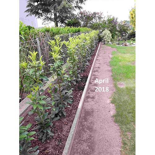 Entwicklung Kirschlorbeer April 2018 Alfred R. GartenGarten Pflanzenversand